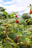Raspberry bush Royalty Free Stock Images