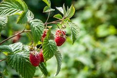 Raspberry bush with red ripe berries on a summer day stock images