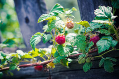 Raspberry bush with ripe berries Stock Images