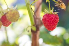Raspberry bush Rubus idaeus. Organic ripe  red and green raspb. Erries, grown in the garden Stock Photo