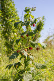 Raspberry bush Stock Photo