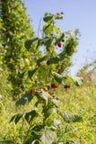 Raspberry bush Stock Photo