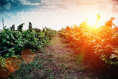 Raspberry bush at sunset rays, cultivation of raspberry concept. Toned Royalty Free Stock Photo