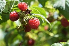 The Raspberry bush. Sweet  Raspberries on the garden. The Raspberry bush. Sweet  Raspberries Stock Image