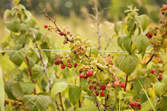 Raspberry bush. A wild raspberry bush with red raspberries on it Royalty Free Stock Images