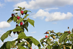 Raspberry bushes with blue sky Royalty Free Stock Images