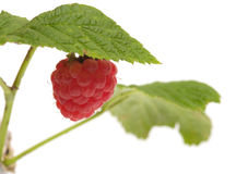 Raspberry-cane. Royalty Free Stock Photos