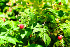 Raspberry cane. Raspberry bush in a garden, close-up Royalty Free Stock Images