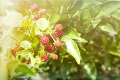 Raspberry cane closeup. Summer garden in village. Growing harvest at farm. Royalty Free Stock Images