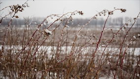 Raspberry cane with hoarfrost in winter field stock video footage