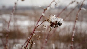 Raspberry cane with hoarfrost in winter field. December landscape stock video footage