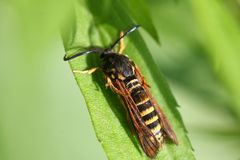 Raspberry Clearwing Moth Royalty Free Stock Photography