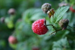 Raspberry close up. Solitary raspberry on bush close up Royalty Free Stock Image