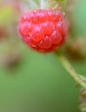 Raspberry close-up. Nature. Russia Royalty Free Stock Images