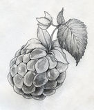 Raspberry close up sketch Royalty Free Stock Photos
