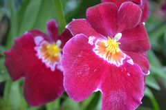 Raspberry coloured tropical orchid stock images