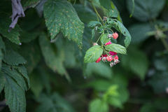 Raspberry in DonDuong - Lamdong Royalty Free Stock Photography