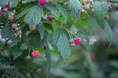 Raspberry in DonDuong - Lamdong Royalty Free Stock Image