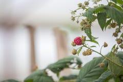 Raspberry in DonDuong - Lamdong. In DonDuong_ lamdong_ Vietnam Stock Photography