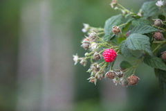Raspberry in DonDuong - Lamdong Stock Photography