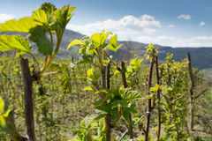 Raspberry in early spring Stock Image