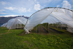 Raspberry farming in poly tunnels in Sogn og Fjordane area, Norw. Vangsnes, Norway - May 10, 2016: Raspberry farming in poly tunnels in the Sogn og Fjordane area Royalty Free Stock Image