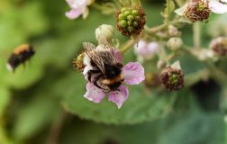 Bumble bee collecting nectar from a raspberry