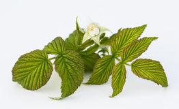 Raspberry flower. On white background royalty free stock photography