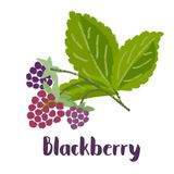 Raspberry forest berry. Raspberry - vintage illustration of forest berry with torn edges and brush effect. Vector stock illustration