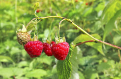 Raspberry. In the forest, sometimes you can find wild raspberries, a tasty, healthier and flavorful berry Stock Photos