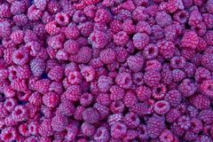 Raspberry. Fresh organic raspberries fruits. Raspberry as background. Selective focus. Fruits vitamins Royalty Free Stock Photography