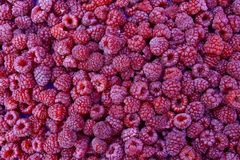 Raspberry. Fresh organic raspberries fruits. Raspberry as background. Selective focus. Fruits vitamins Stock Photo