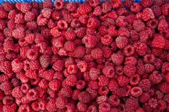 Raspberry. Fresh organic raspberries fruits. Raspberry as background. Selective focus. Raspberries Royalty Free Stock Images