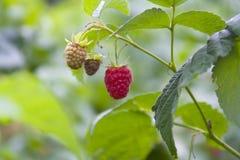 Raspberry fruit background Stock Photography