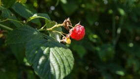 Raspberry fruit on the bush royalty free stock image