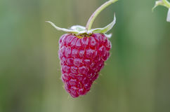 Raspberry Royalty Free Stock Photography