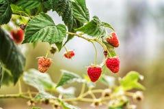 Raspberry in the fruit garden Stock Images