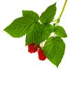 Raspberry fruit with leaves Stock Photo