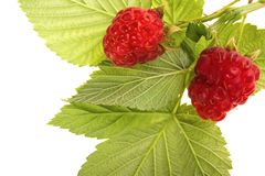 Raspberry fruit with leaves Royalty Free Stock Photos