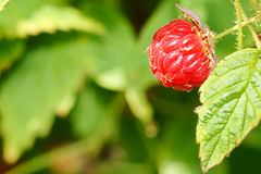 Raspberry fruit on plant. Organic ripe raspberry fruit, very natural on green plant, perfect for wholesome food and nature related background Royalty Free Stock Photo