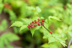 Raspberry fruit royalty free stock image