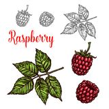 Raspberry fruit sketch of red berry and green leaf. Raspberry fruit sketch of sweet summer berry. Ripe red raspberry isolated icon with fresh twig and green leaf stock illustration