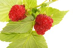 Raspberry fruit with stem and green leaves Royalty Free Stock Photos
