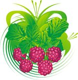 Raspberry fruits. Berries and leaves of a raspberry against a vegetative ornament Stock Photos