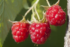 Raspberry fruits on branch Royalty Free Stock Image