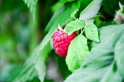 Raspberry garden. Ripe Raspberry& x28;& x28;Rubus idaeus & x29;. Organic fruit background. in summer time stock images
