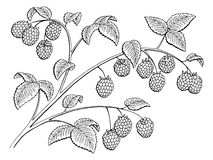 Raspberry graphic branch black white isolated sketch illustration Stock Photo