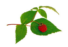 Raspberry with green leaf isolated. Raspberry  with green leaf isolated Royalty Free Stock Photos