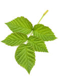 Raspberry green leave Stock Image