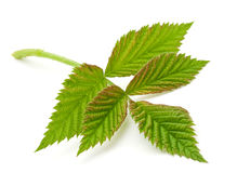 Raspberry green leave Stock Images